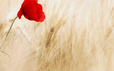 Bunga Calendula yang Cantik dan bermanfaat